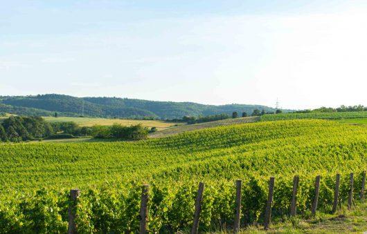 vinograd 3
